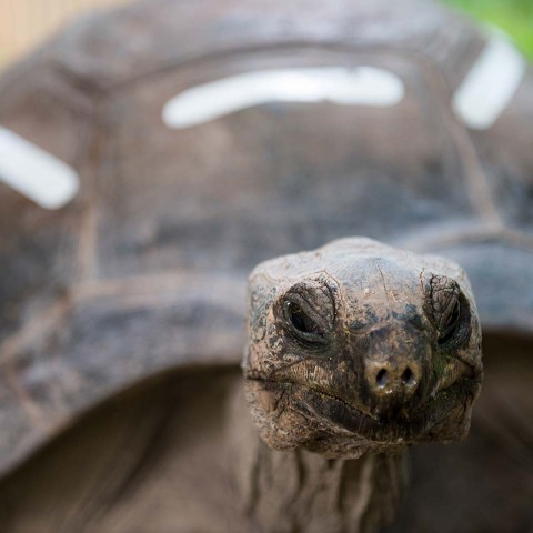 Meet Brutus, our oldest tortoise