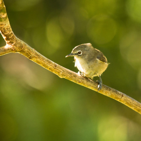 The Seychelles White Eye brought back from the brink of extinction by our conservation efforts