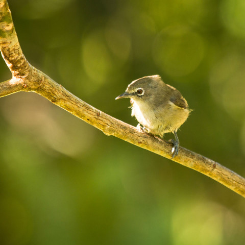 Seychelles White eye is protected on North Island
